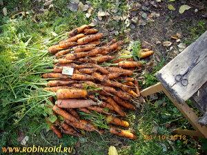 морковная грядка