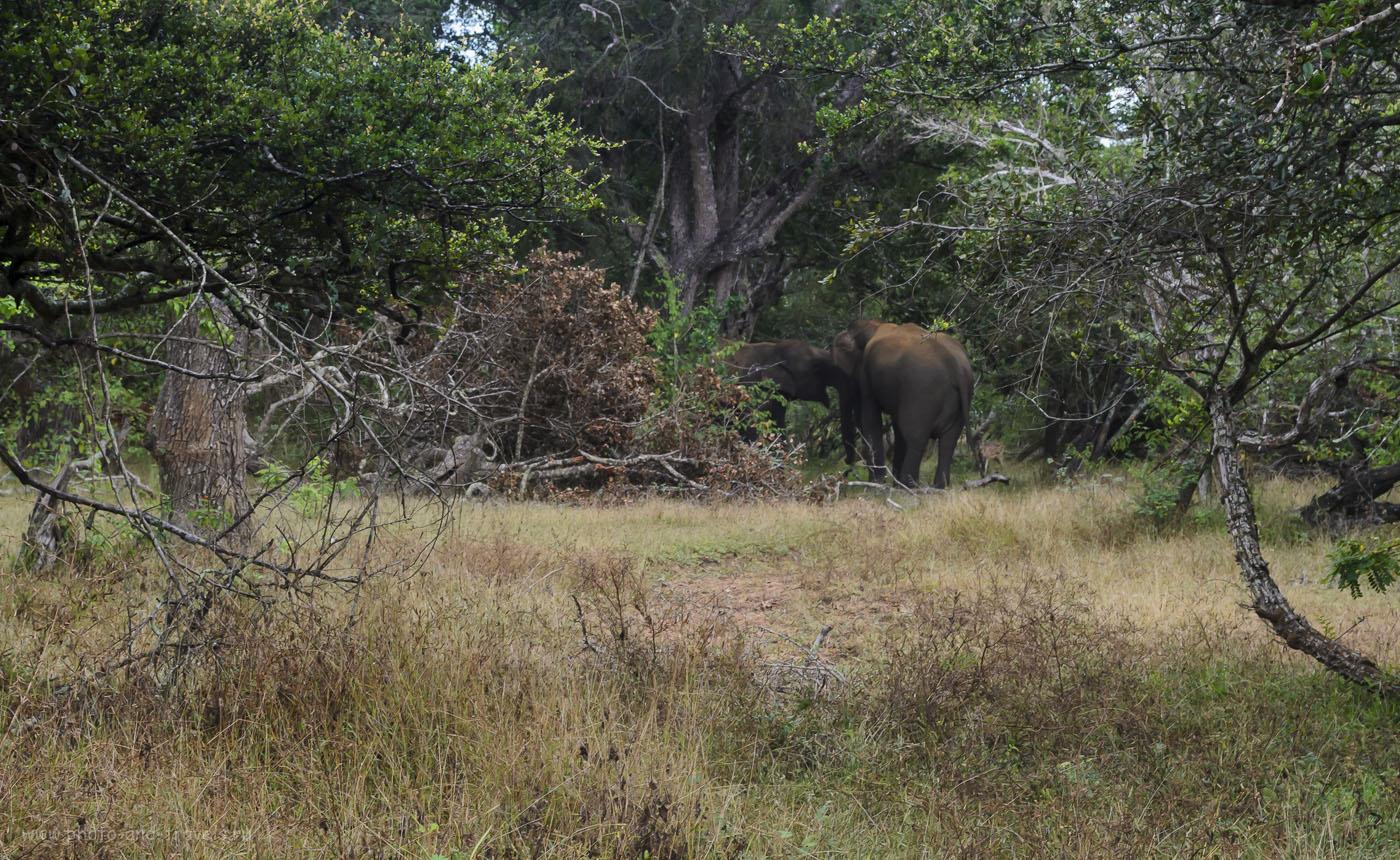 17. Фото. Отдых в Шри-Ланке. Фотосафари в национальном парке Рухуна (Ruhuna National Park). Дикие слоны развлекаются (640, 55, 11.0, 1/30)