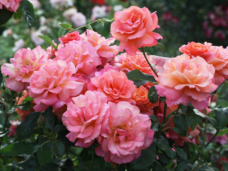 Фрайзингер моргенрёте роза