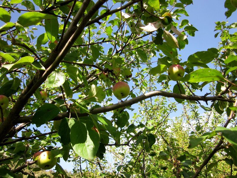 Яблоня в горах