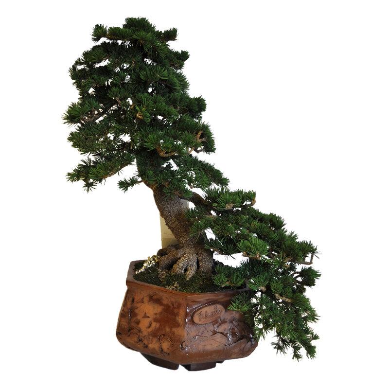 """Товары похожие на Маленькое дерево бонсай  """"Веер """" ."""