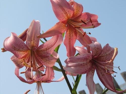 Лилия розовая дымка фото
