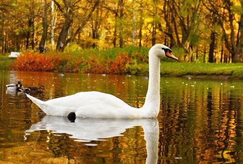 Лебедь-красавец. Карап