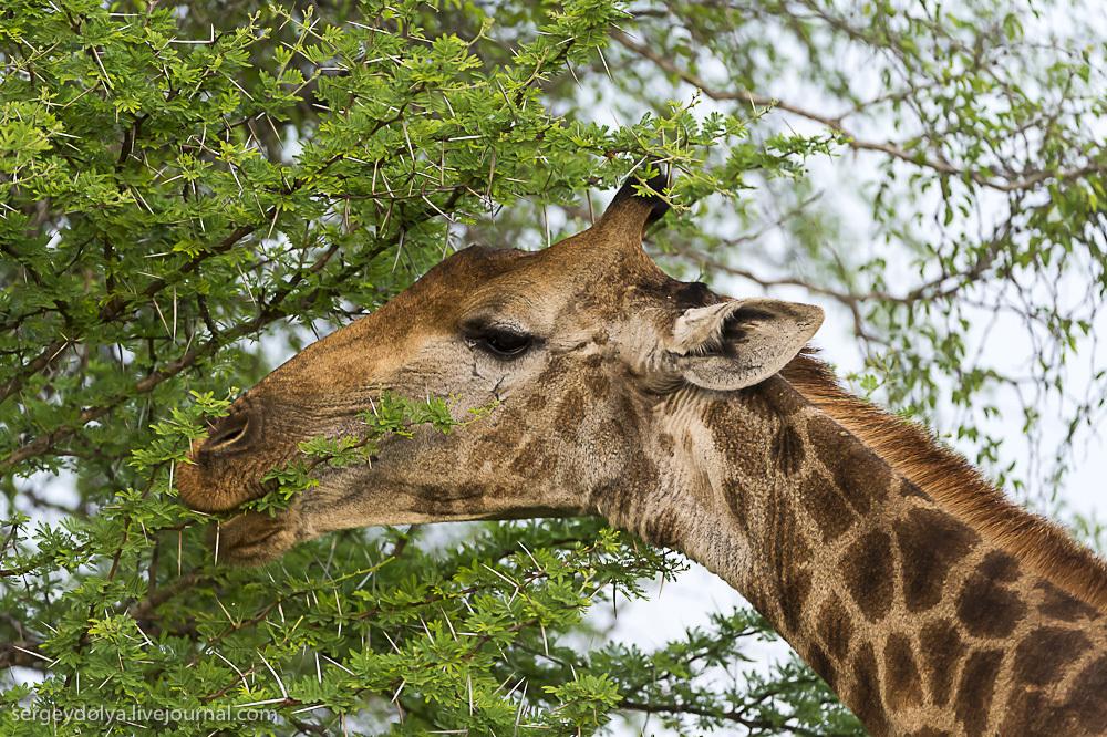 Африканские жирафы