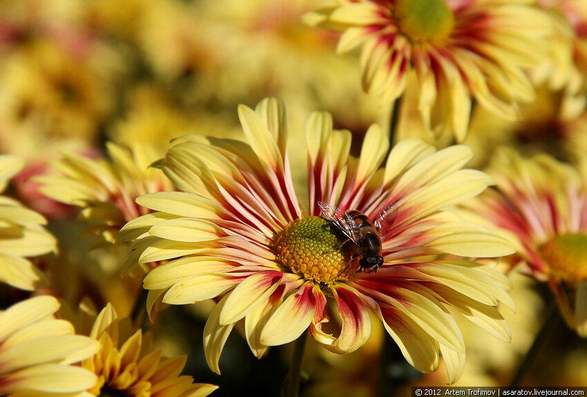 Пчела на хризантеме