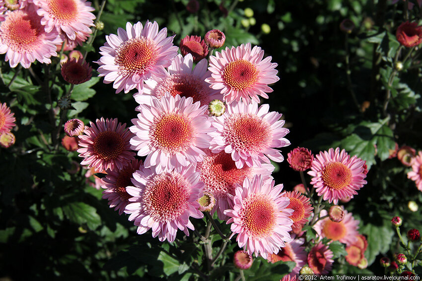 Ярко-розовые бордюрные хризантемы