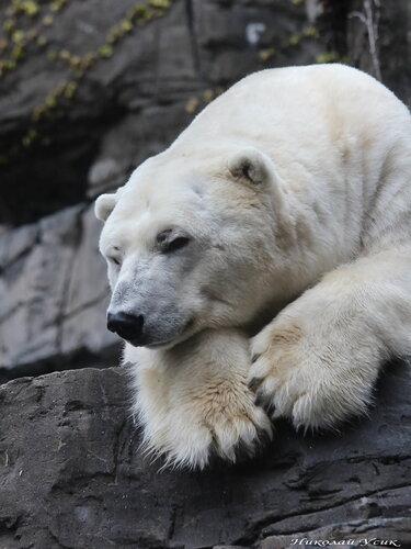 Белый медведь, Нью-Йорк