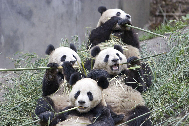giant panda group eating bamboo