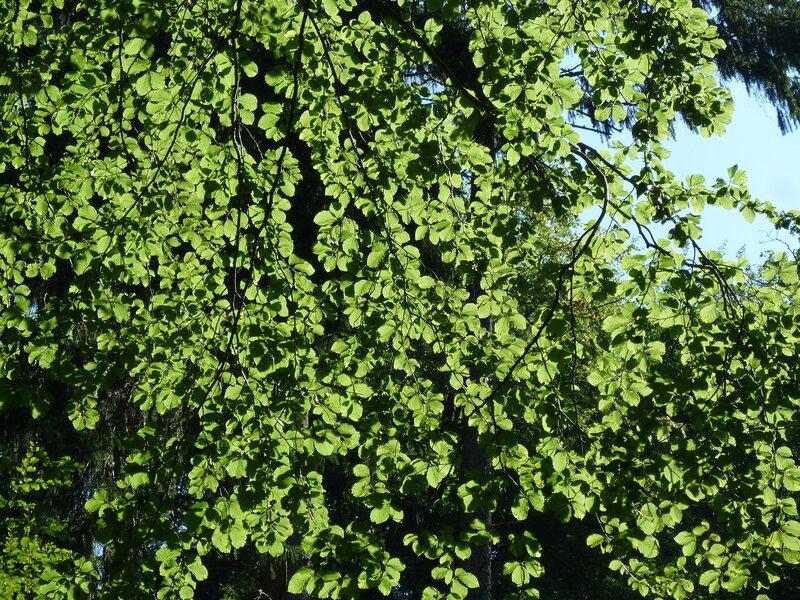 Ветви моих любимых буков:)
