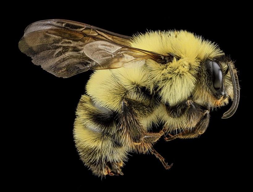 Макрофотографии разноцветных американских пчел 0 13d2ac f1870367 orig