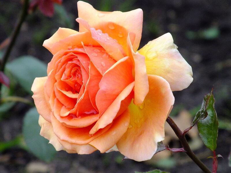 Солнечная роза осени...