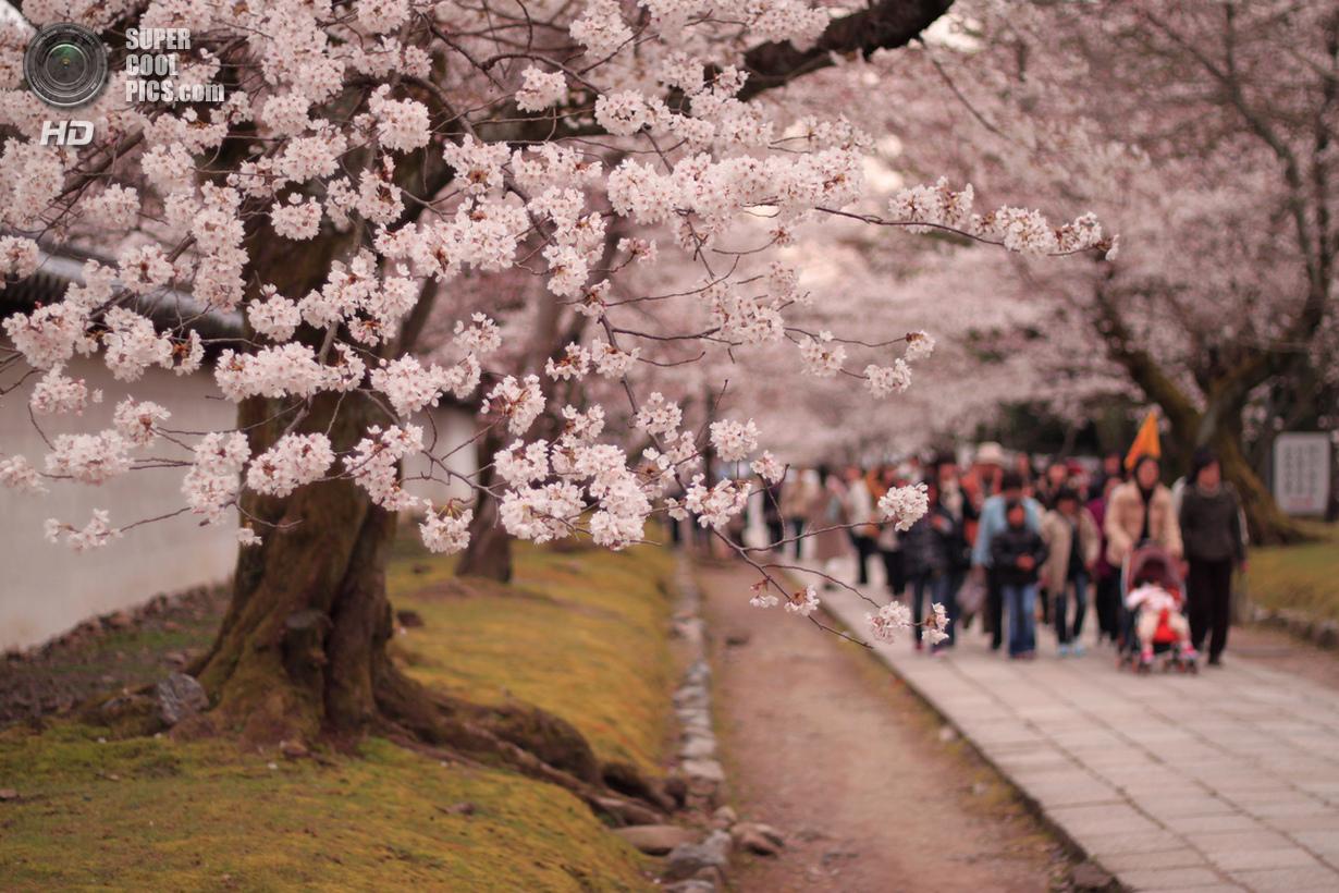 День цветения сакуры (19 фото)