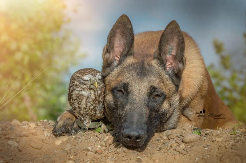 Такая милая дружба пса и совушки (15 фото)