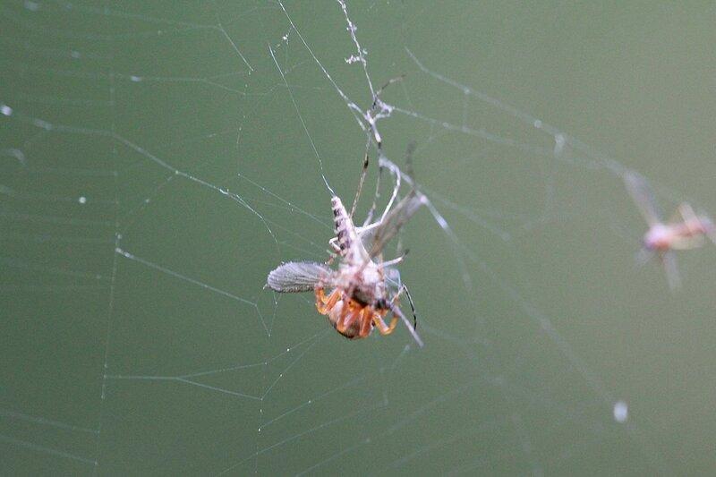 паук опутывает паутиной пойманного комара