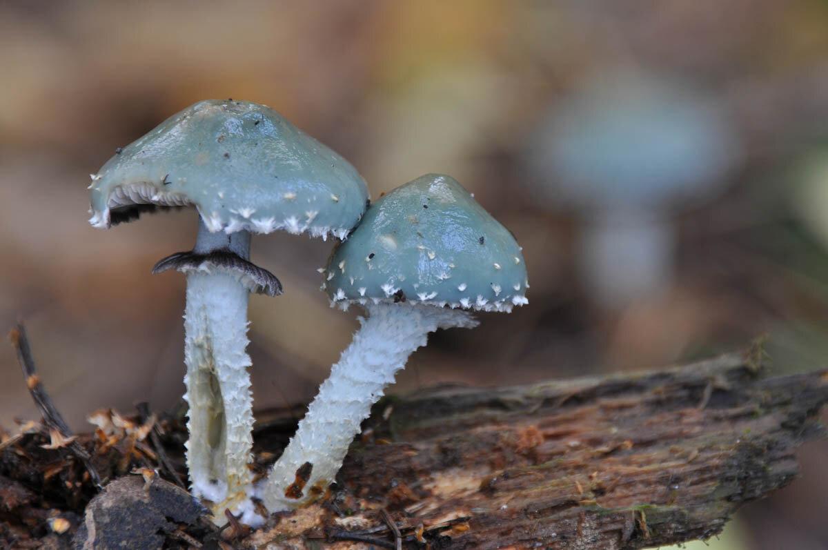 Строфария сине-зелёная (Stropharia aeruginosa) Автор фото: Владимир Брюхов