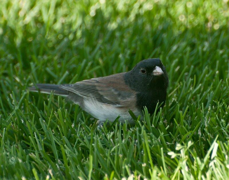 Пташка (самец)
