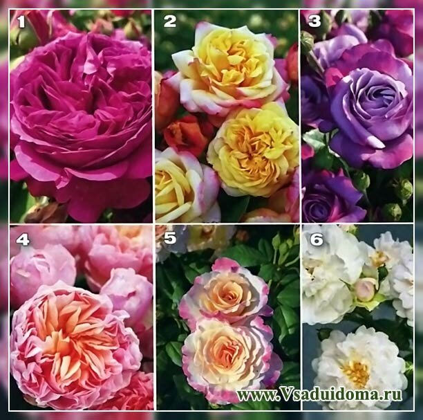 ароматные сорта роз фото и описание