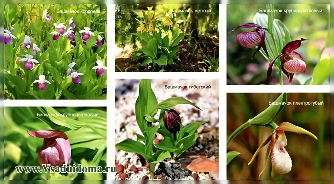 Орхидеи башмачки фото нескольких сортов