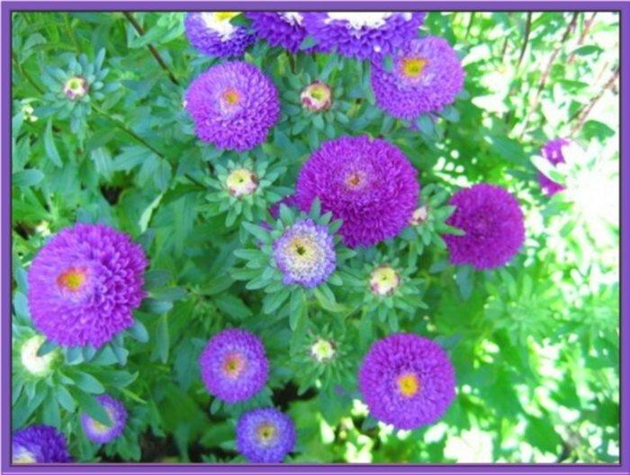 фиолетовые садовые цветы Астра однол…