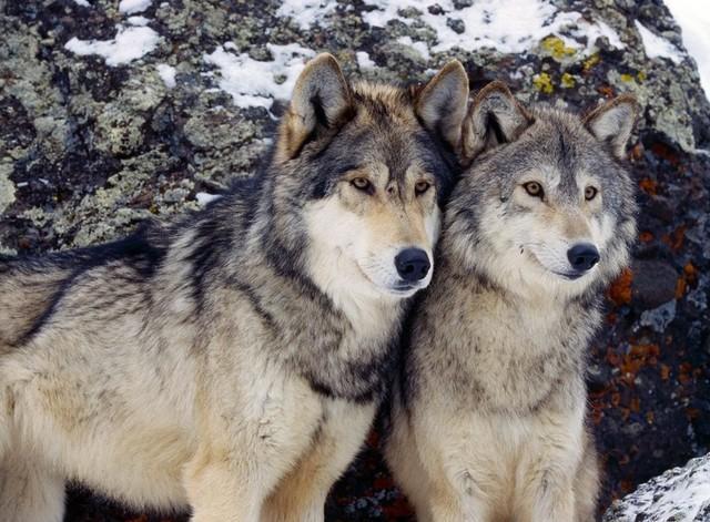 проститутка и волк