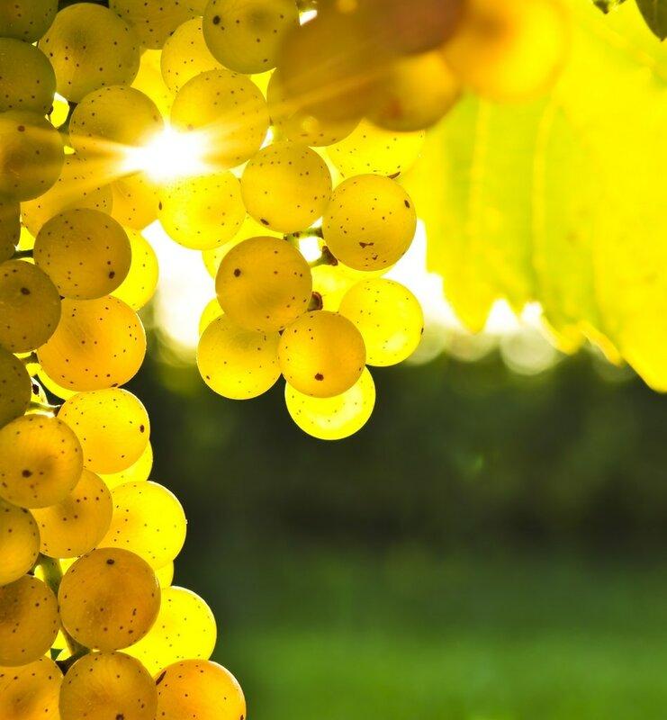 hd обои Виноград, блик солнца, листья, гроздь, желтый 240 x 320 для рабочего стола бесплатно скачать.
