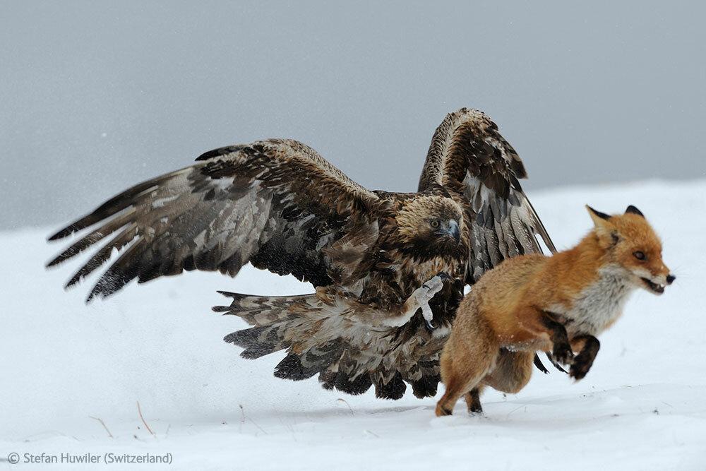 Steinadler (Aquila chrysaetos) verfolgt Rotfuchs (Vulpes vulpes), Bulgarien