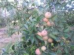 Поначалу яблок было много