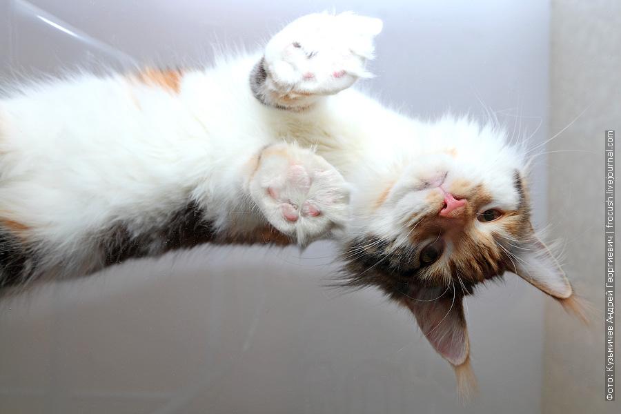 фотография кошки мейн-кун