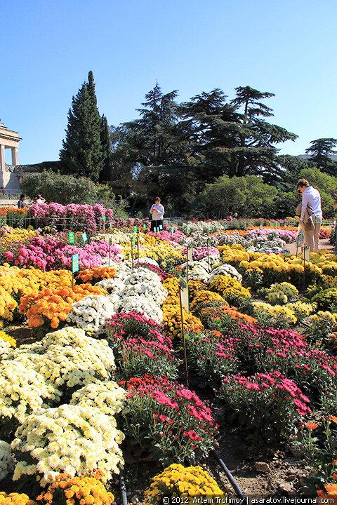 Бордюрные хризантемы Никитского ботанического сада