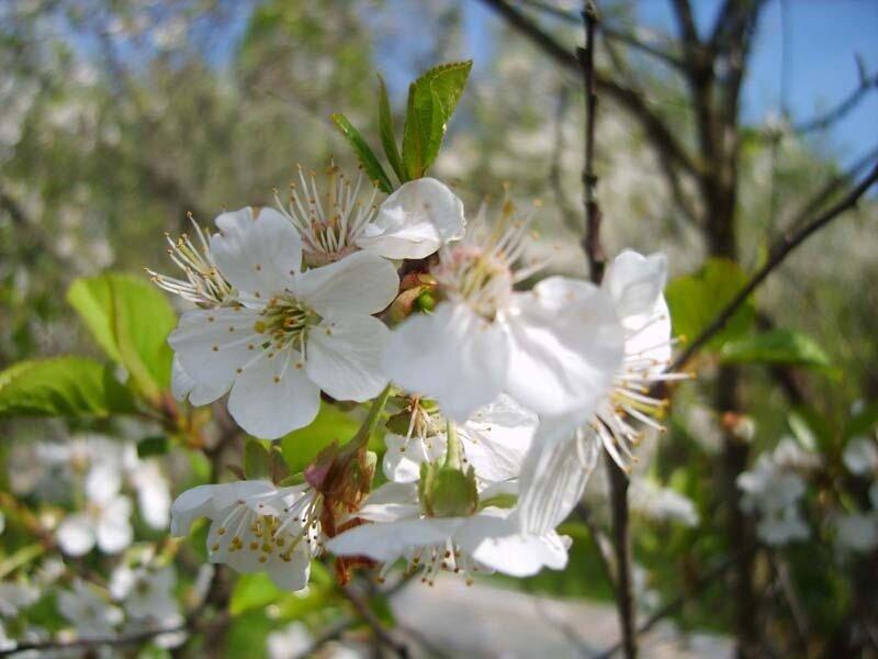 цветет вишня 2