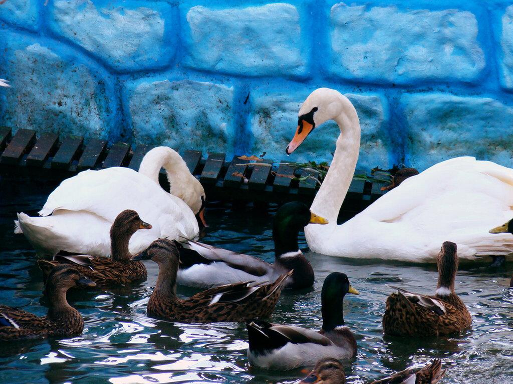 Два белых лебедя в зоопарке г.Ставрополь