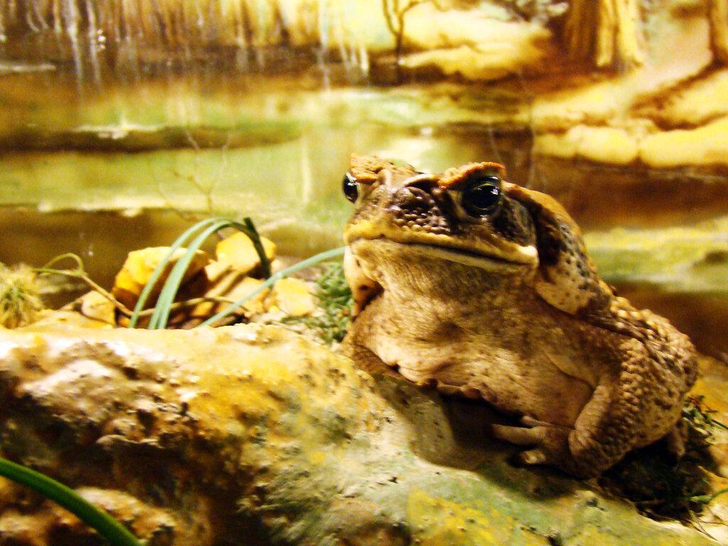 Жаба в экзотеррариуме Ставропольского зоопарка.