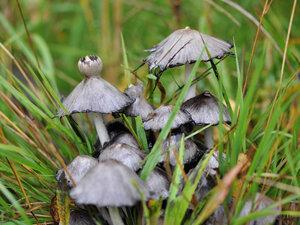 Навозник чернильный (Coprinopsis atramentaria)Альбом: Навозники