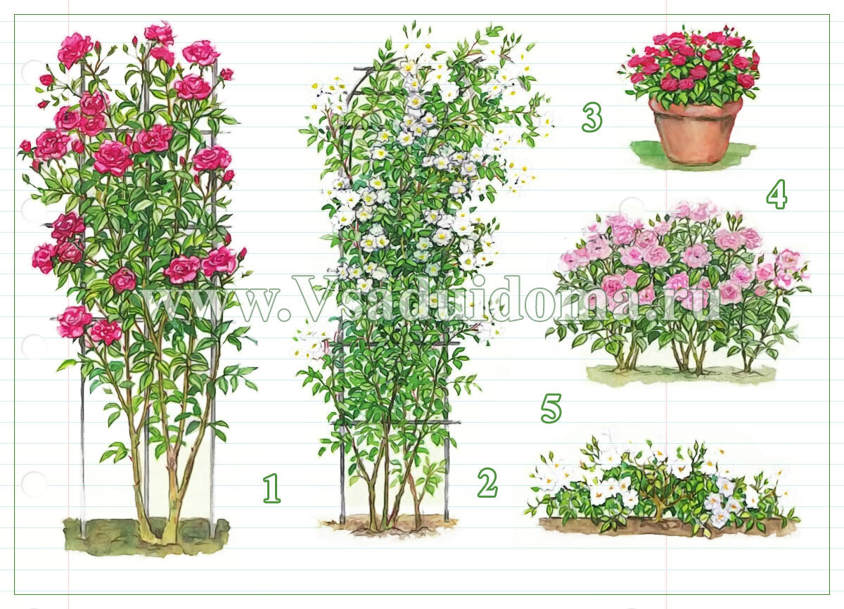 Как и когда лучше сажать плетистые розы - Ботаничка. ru 35