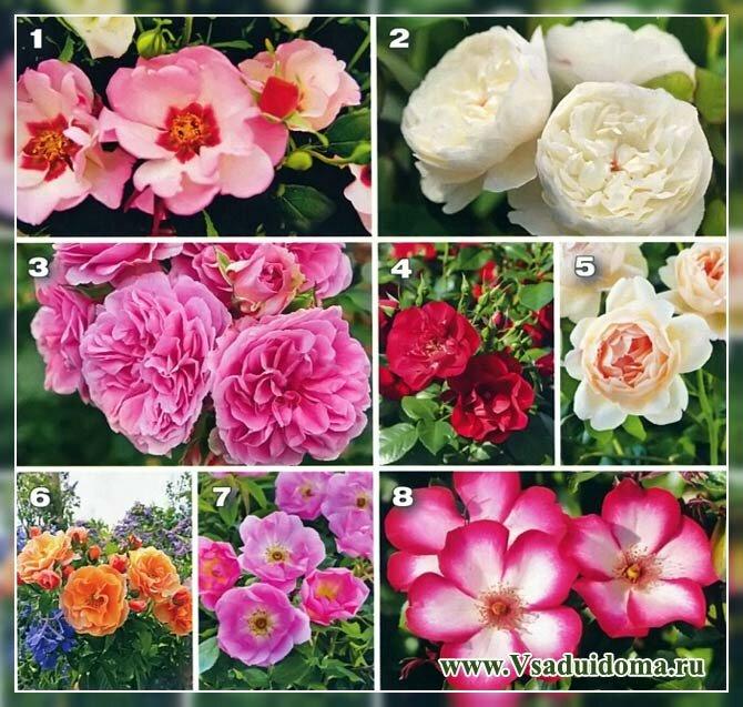 описание сортов кустарниковых роз фото