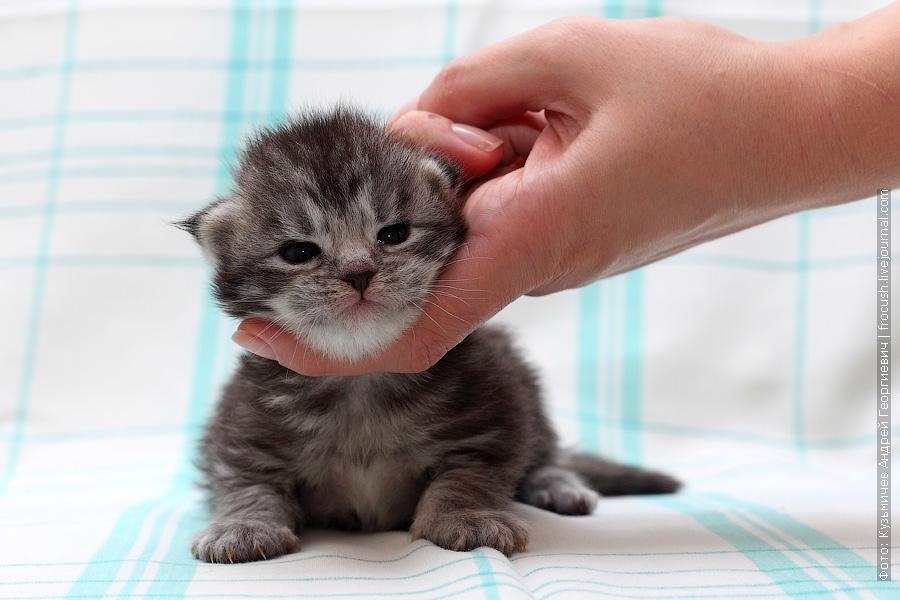 двухнедельный котенок