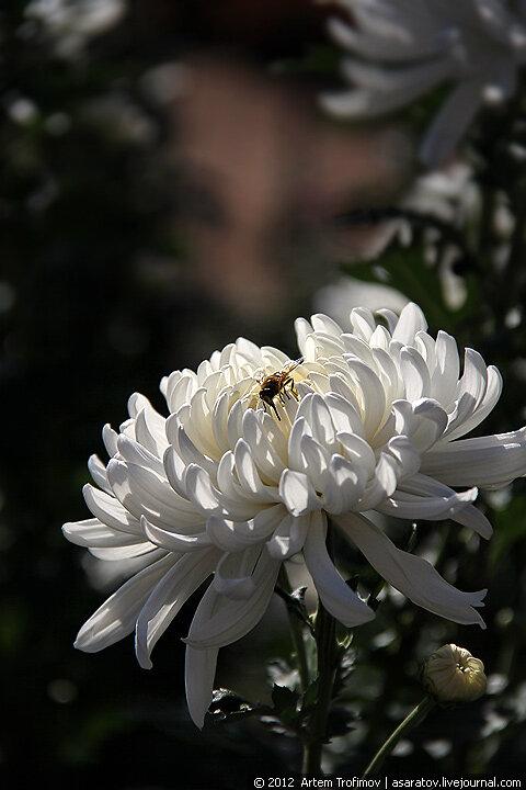 Пчела на белой хризантеме