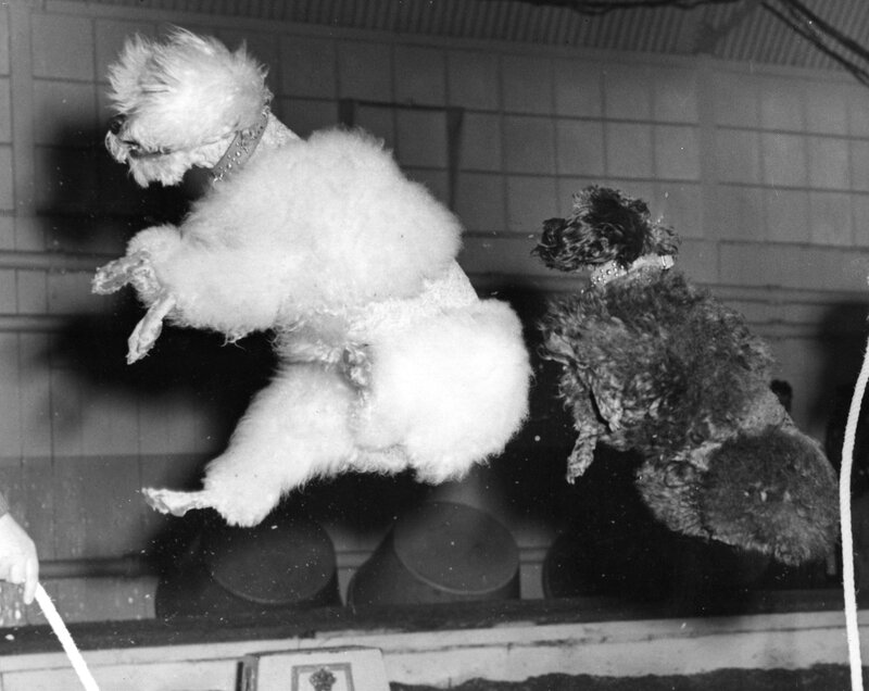 Skipping Poodles