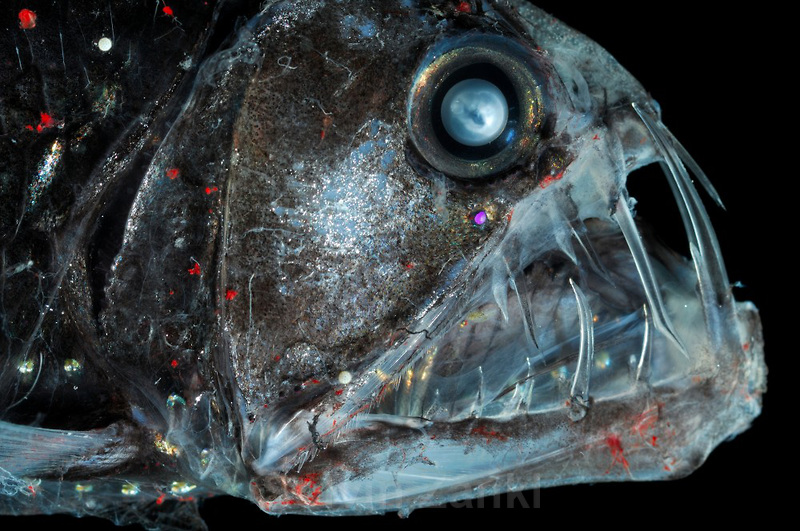 Deep Sea Viperfish Chauliodus sloani | Deep Sea fish | Tiefsee Fisch