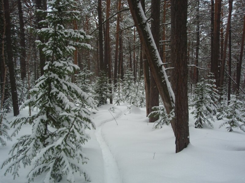 Тропинка в снежном лесу