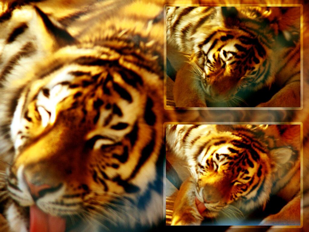 Тигр умывающийся в клетке городского Ставропольского зоопарка.