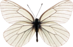 jss_bluejeans_butterfly white 2.png