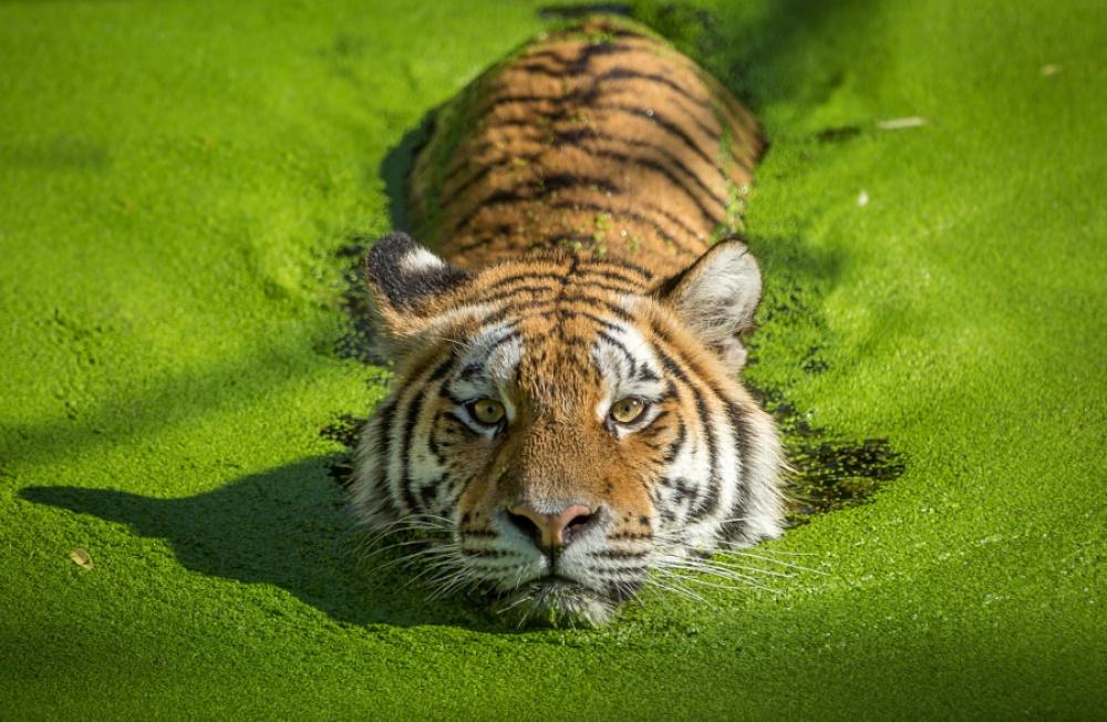 ©Stig Ottesen Плывущий тигр.
