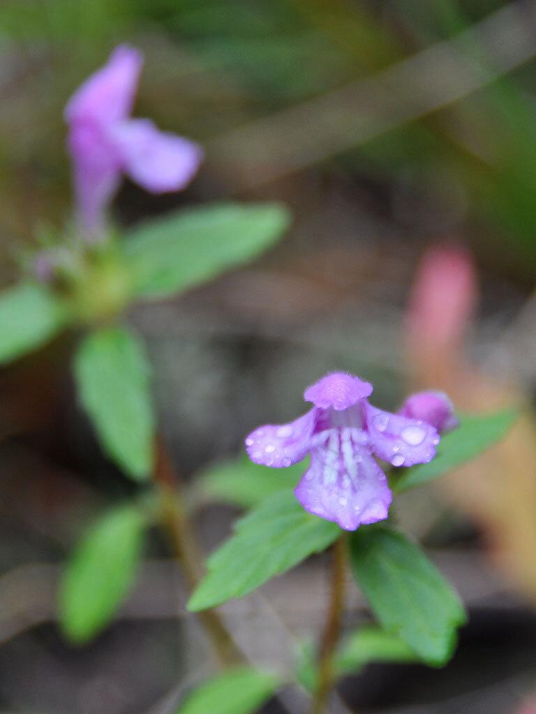 Душевка полевая (Acinos arvensis). Автор фото:Владимир Брюхов