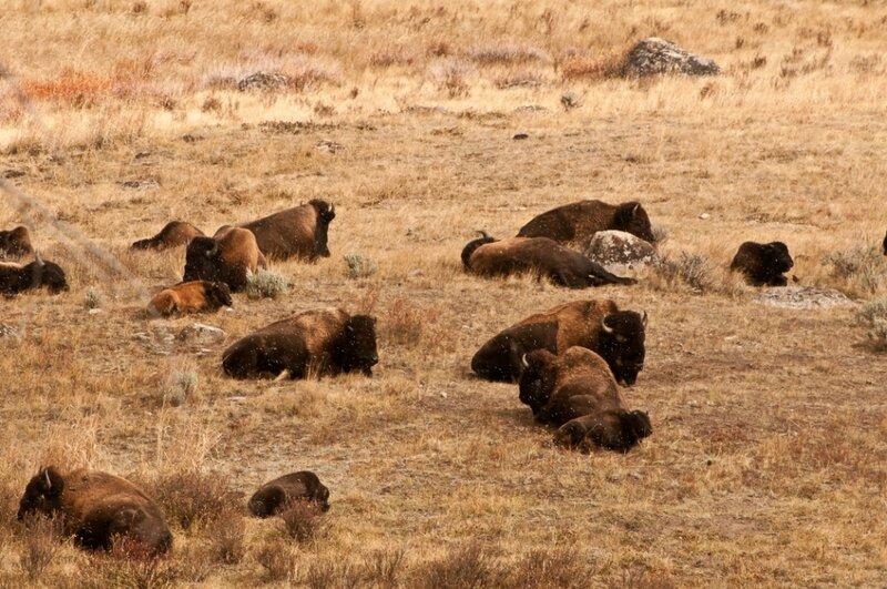 Лежбище бизонов