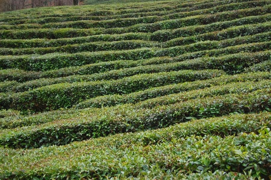 Это около 70 процентов всех чайных посадок олимпийской столицы