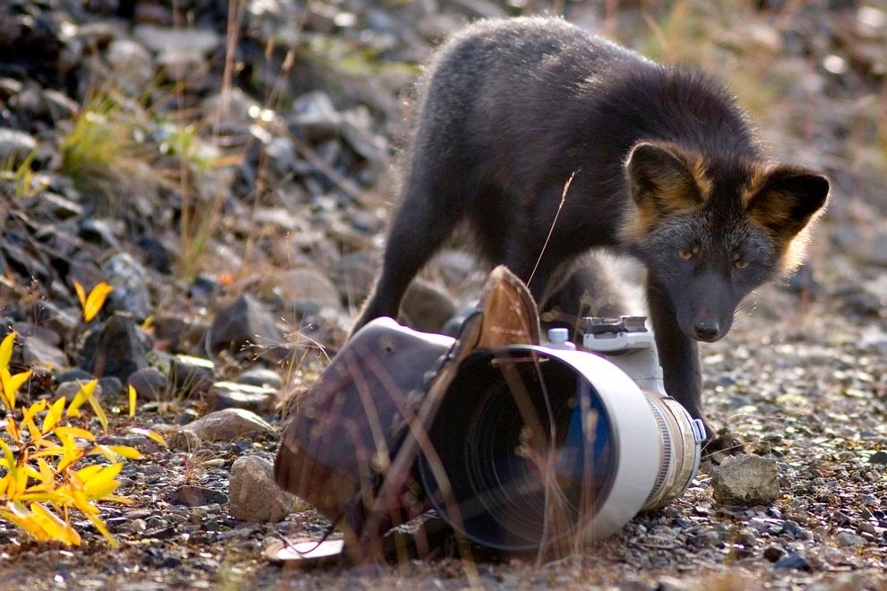 7/ Чёрно-бурая лисица, Юкон, Канада.