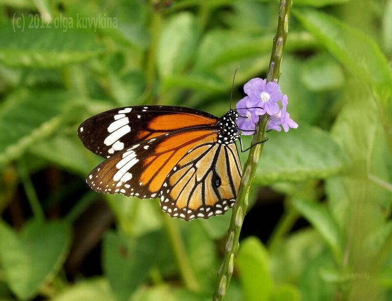 Данаида монарх на страхитарфете (Stachytarpheta)