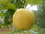 Недозрелое яблоко Близняшек на ветке