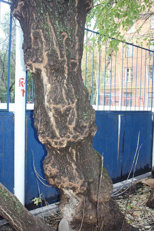 Странной формы ствол старого дерева. То худел, то толстел...
